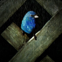 Indigo Bunting Night Rain Glicee Print Blue Bird 8x10 from original photograph - Indigo Rain - Korpita ebsq
