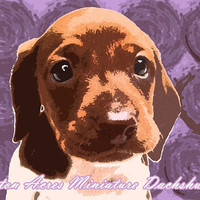 Dachshund Print Photography - Lavender Wall Art  by AstonAcresDachshunds