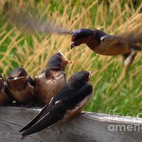 Lunch Is Served To The Fourth Baby Barn Swallow Print By J Mccombie