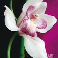 Orchid Art Print by Amelie Vuillon at Art.com