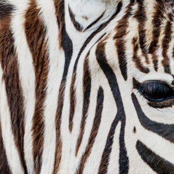 EYE OF THE ZEBRA Art Print by Catspaws | Society6