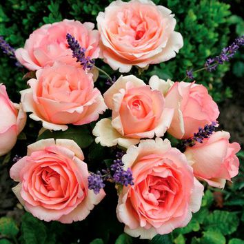 Pink Enchantment Hybrid Tea Rose - 2-Quart at Jackson and Perkins
