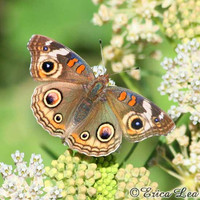 Brown Butterfly Photo on White Flowers Nature by NatureVisionsToo