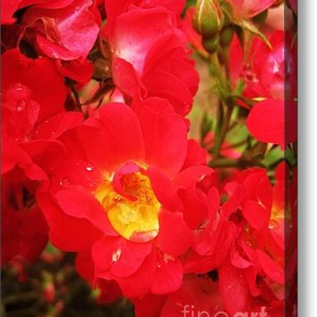 Red Roses And Raindrops Acrylic Print