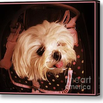 Baby In A Bag Maltese Puppy Acrylic Print