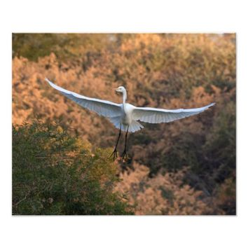 An Egret flies