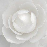 White camellia Photographic Print by Clive Nichols at Art.com