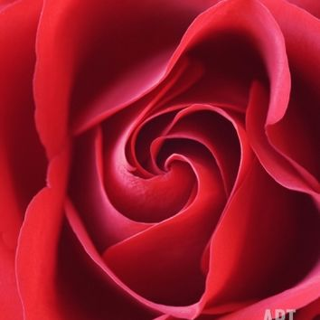 Petals of Red Rose Photographic Print by Clive Nichols at Art.com