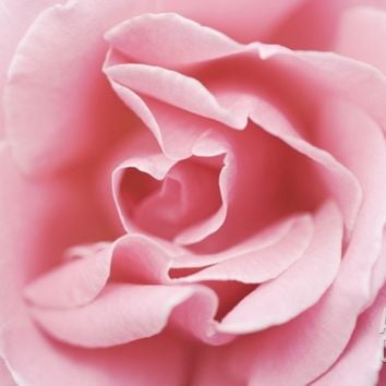 Pink Rose Photographic Print at Art.com