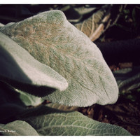 Soft Velvet Lambs Ear Leaves Color Photographic Print