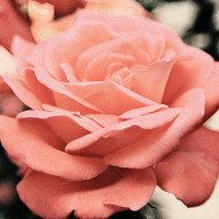 Peach Rose Photo - Single Flower Image - 8X12 Print