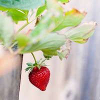 Fine Art Photo - Print of Sweet Strawberry Garden Fruit Kitchen Food Art Rustic Vintage Home Decor Wall Art - 8 x 10