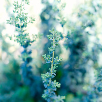 Fine Art Photo - Print of Garden Herb Oregano Rustic Country Cottage Chic Blue Green Vintage Kitchen Food Art Home Decor Wall Art - 8 x 10