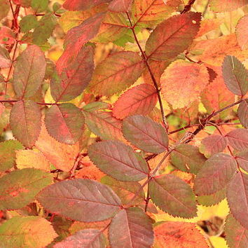 Wild Rose leaves in autumn Photograph by Jim Sauchyn - Wild Rose leaves in autumn Fine Art Prints and Posters for Sale
