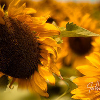 Texas Sunflowers-11x14 - Fine Art Photograph