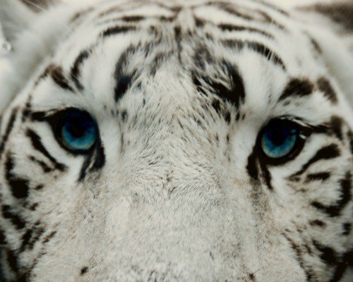 original jpgWhite Siberian Tiger Eyes