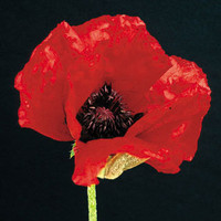 Beauty of Livermere Papaver orientale Oriental Poppy Plant