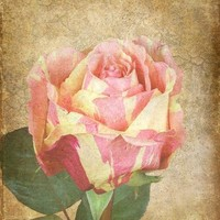 Rose Photograph, 8 x 10 Photo, Fine Art Nature Photo, Antiqued Rose Print