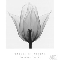 Triumph Tulip Art Print by Steven N. Meyers at Art.com