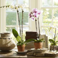 Live Phalaenopsis Orchid in Terra Cotta Pot | Pottery Barn