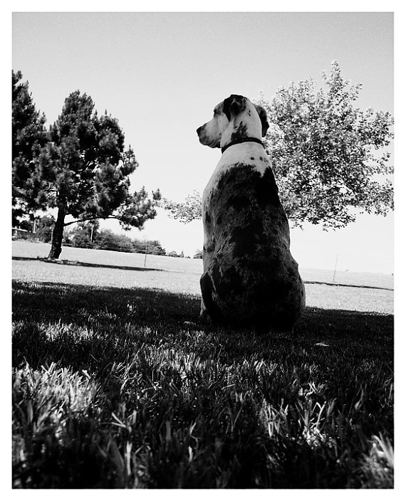 Great Dane Dog Black &amp; White Photographic Print