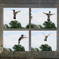 Hummingbird Photo, 5x7, Photo set