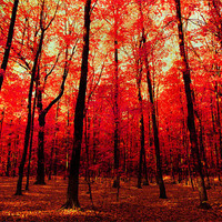 Autumn photograph scarlet ruby red maple leaves leaf peeping fall colors Canadian forest fairytale blood red  - True North 8x12