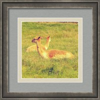 Vicunas On The Grass Framed Print By Alexandra Cook