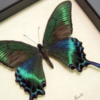 Real Green Papilio Maackii Butterfly by REALBUTTERFLYGIFTS on Etsy