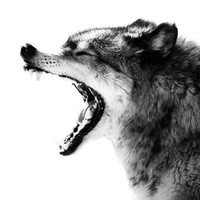 Intense Gray Wolf Portrait Photo - 8x10 Black and White Wild Animal Nature Photo Print - Wolf Art Minimal - Spooky Halloween Decor