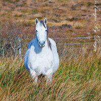 White Connemara Pony - Irish Horse Image - 8X12 Print