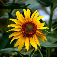 Sunflower 11x14 Art Photograph