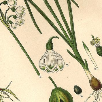 True Lovers Knot and Snowdrop 1890 German Botanical Chromolithograph