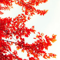 Autumn photography, ruby red leaves, autumn leaves, red and white, scarlet, maple tree, thanksgiving - Ruby Red 8x8