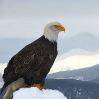 "Fine Art Photography Prints, Eagle Photo Art Print, ""Bald Eagle 3 "" Gifts under 30"