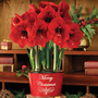 3-in-1 Merry Christmas Grand Trumpet Amaryllis