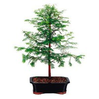 Amazon.com: Brussel's Dawn Redwood Bonsai: Patio, Lawn & Garden