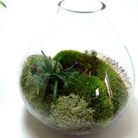 Large Table Vase, Mood Moss, Mondo Grass, Terrarium. Great for HOME or OFFICE. Nice Unusual Gift. Terrariums by mossterrariums on Etsy