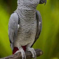 Bali, Ubud, an African Grey Parrot at Bali Bird Park Photographic Print by Niels Van Gijn at AllPosters.com
