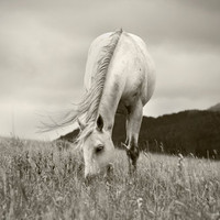 Horse Photograph Peaceful Day 10x8 Fine Art by ApplesAndOats