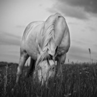 Black and White Horse Photograph Summer Grazing by ApplesAndOats