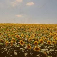 Vintage Sunflowers Stretched Canvas by Josh Hardman | Society6