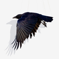 Suspend,  Crow in flight, Bird Art Print Photography, Fine Art Print
