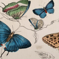 1860s ANTIQUE BUTTERFLY PRINT hand colored engraving royal blue melon lemon green celebrate spring