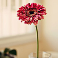 Pink Flower in Window Gerbera Daisy Photograph by aroundtheisland