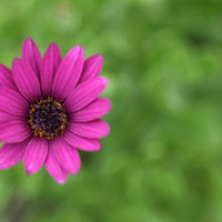 Flower Photography Macro Photography Nature Photograph Purple  Daisy Minimal Wall Art 4x6 Fine Art Photography Print
