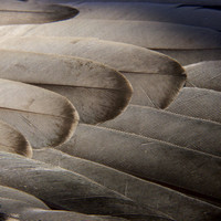 Bird Feathers Photographic Print by Michael Melford