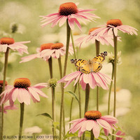 Butterfly Photo, Wall Decor, Nature Photography, Floral Decor, Olive Green, Pink Coneflower, Flower Wall Art, Butterfly Art, Nature Wall Art