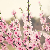 flower photography pink blossom spring pink home decor  nature photo landscape decor Pink Pear Blossoms no 1 8x10
