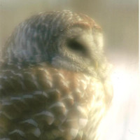 Barred Owl in Soft Focus Nature Photography on Blank Note Card